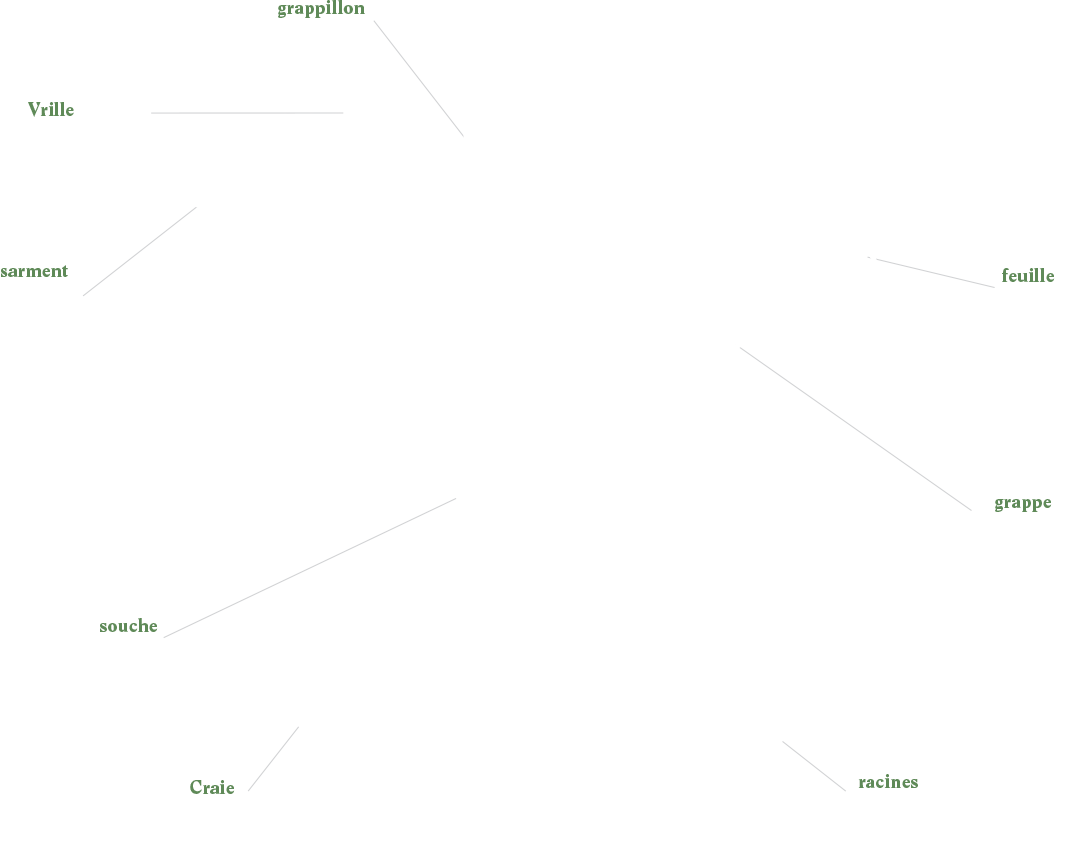 Anatomie d'un Cep de vigne